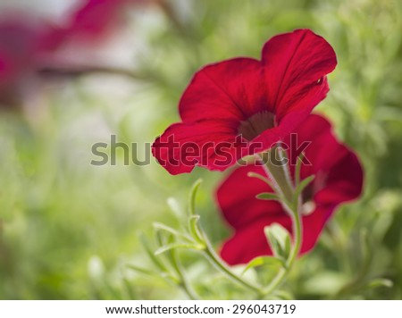 Close up of a bright red blooming petunia flower. Popular annual flower. - stock photo