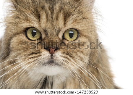 Close-up of a British Longhair, isolated on white