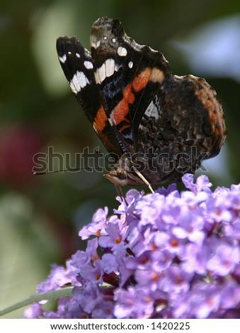 Close-up of a British Red Admiral butterfly (latin: Vanessa atalanta) - stock photo