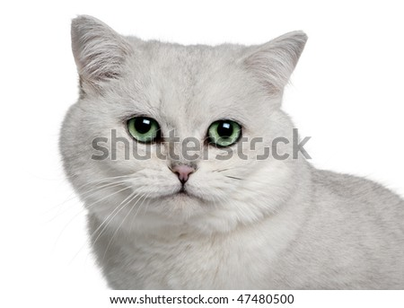 close up of a  British Shorthair (5 years old) in front of a white background