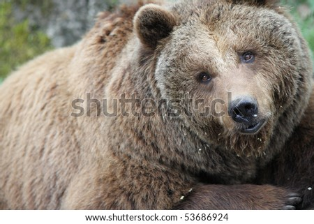 Close up of a Brown Bear