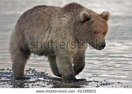 Close up of a brown bear cub - stock photo