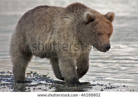 Close up of a brown bear cub - stock photo