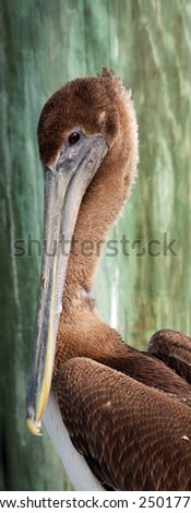Close-up of a brown pelican in South Florida - stock photo