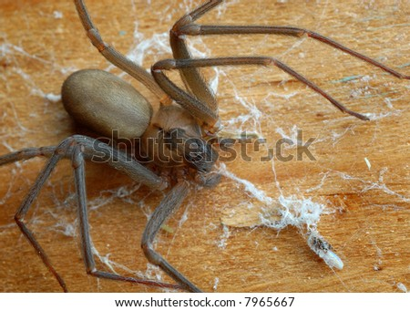 Close-up of a brown recluse spider - stock photo