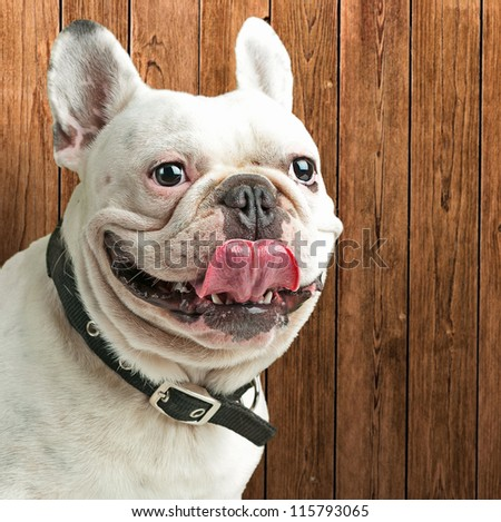 Close-up Of A Bulldog, Indoor - stock photo