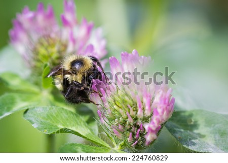 close up of a bumble bee feeding on a purple flower - stock photo
