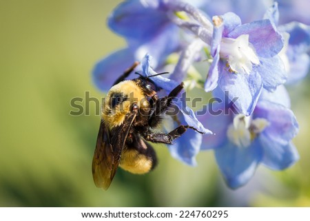 close up of a bumble bee pollinating spring blue flowers on a green background - stock photo