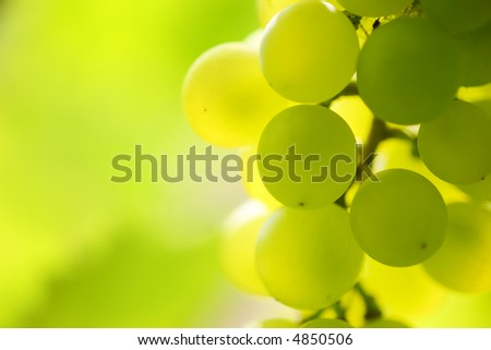 Close-up of a bunch of grapes on grapevine in vineyard. Shallow DOF. - stock photo