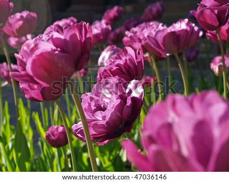 Close up of a bunch purple flowers growing in a garden - stock photo