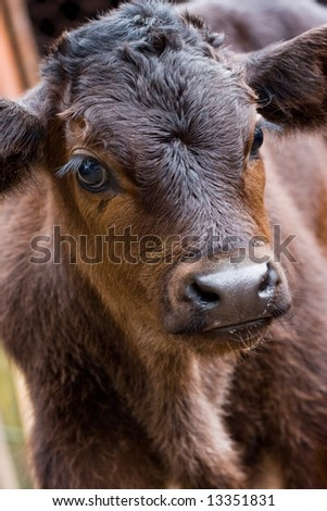 Close up of a calf - stock photo
