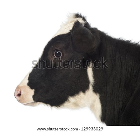 Close-up of a Calf, 8 months old, in front of white background - stock photo