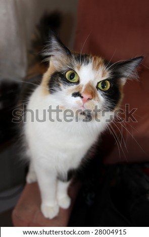 close-up of a calico house cat staring forward