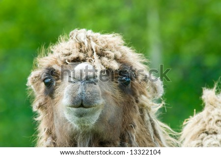 close-up of a camel (Camelus bactrianus domesticus )