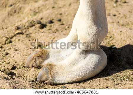 Close Up of a Camel Hoof