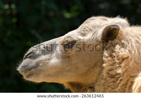close up of a camel in Brazil - stock photo