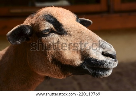 Close up of a Cameroon sheep in a zoo - stock photo
