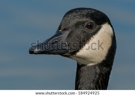 Close up of a Canada Goose. - stock photo