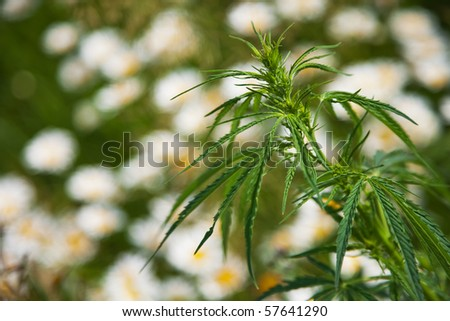Close-up of a cannabis plant - stock photo