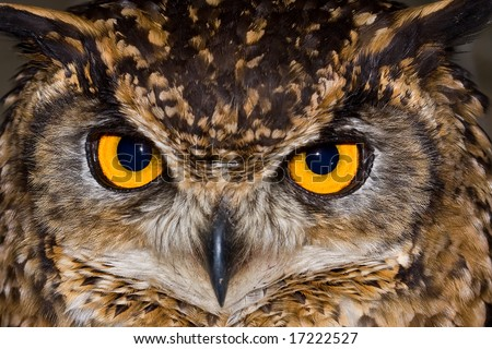 Close-up of a Cape Eagle Owl with large piercing yellow eyes