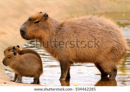 Close up of a Capybara (Hydrochoerus hydrochaeris) and two babies in a lake. - stock photo