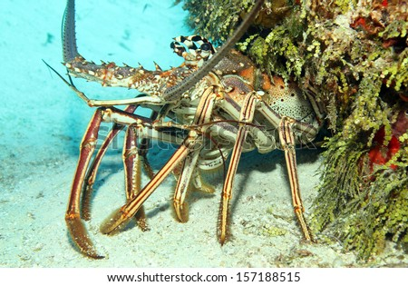 Close-up of a Caribbean Spiny Lobster (Panulirus Argus) on Sand Bottom, Looking out from its Cavern, Cozumel, Mexico - stock photo
