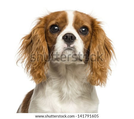 Close-up of a Cavalier King Charles Spaniel puppy, 5 months old, isolated on white - stock photo