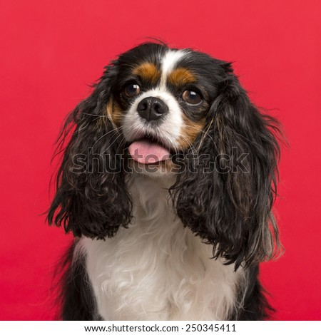 Close-up of a Cavalier King Charles Spaniel (3 years old) in front of a pink background - stock photo