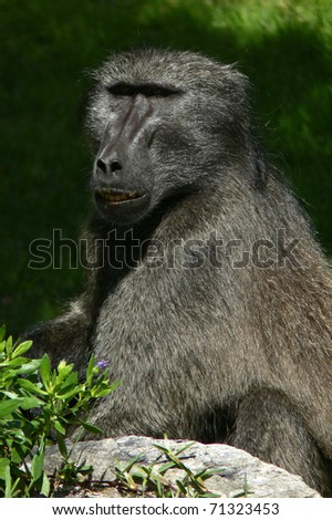 Close-up of a Chacma Baboon in South Africa