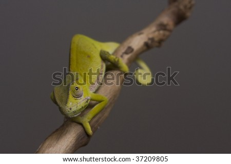 Close-up of a chameleon on a branch - stock photo