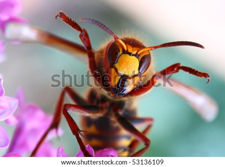 Close-up of a cheering European Hornet (Vespa crabro) - funny image. Macro shot with shallow dof. - stock photo