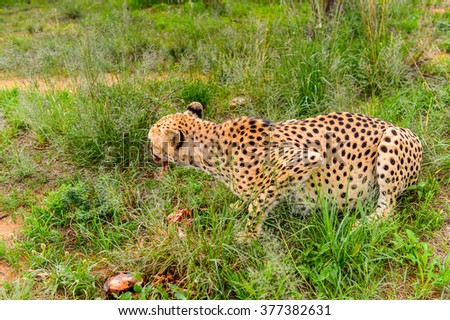 Close up of a Cheetah eating meat at the Naankuse Wildlife Sanctuary, Namibia, Africa - stock photo