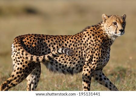 Close-up of a Cheetah looking for food in Ol Pejeta Conservancy, Kenya - stock photo