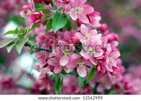 Close-up of a cherry tree in bloom during early springtime - stock photo