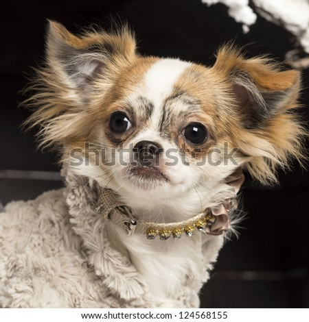 Close up of a Chihuahua in front of Christmas nativity scene with Christmas tree and snow - stock photo