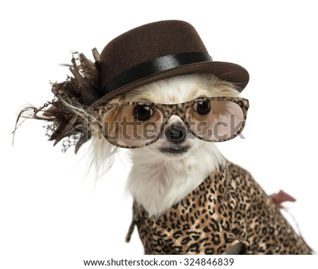 Close-up of a Chihuahua wearing a hat and glasses, isolated on white - stock photo