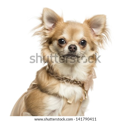 Close-up of a Chihuahua with collar, looking at the camera, 2 years old, isolated on white