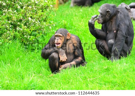 Close up of a Chimpanzee (pan troglodytes) father and son.