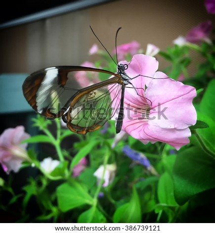 Close-up of a clearwing butterfly (miraleria cymothoe) perched on a flower - stock photo