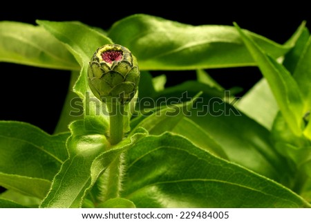 Close up of a closed zinnia flower bud. - stock photo