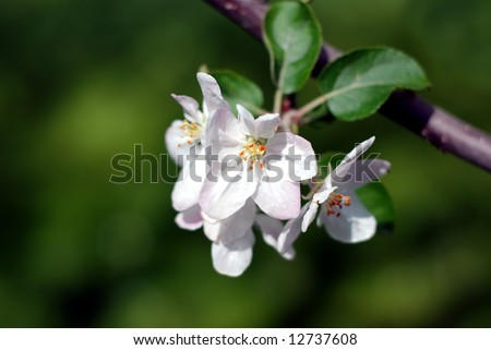 Close-up of a cluster of apple blossoms with a beautiful green background for contrast - stock photo