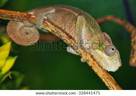 Close up of a colorful chameleon on tree branch