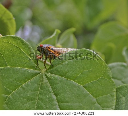 Close up of a colorful cicada peeking over a large green leaf in summer - stock photo