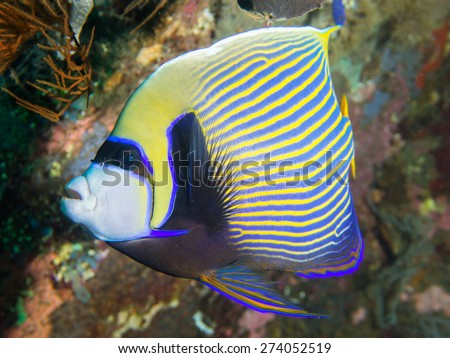 Close-up of a colorful Emperor Angelfish on a beautiful shipwreck at Tulamben on Bali, Indonesia. It's Latin name is Pomacanthus imperator. - stock photo