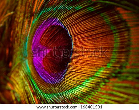Close up of a colorful Peacock feather. - stock photo
