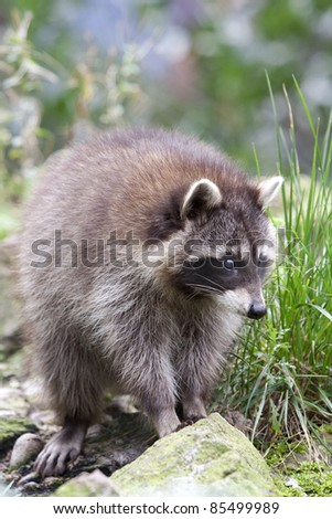 Close up of a Common raccoon, also known as North American raccoon, northern raccoon (Procyon lotor). - stock photo