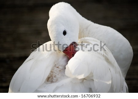 Close up of a Coscoroba swan (Coscoroba coscoroba)