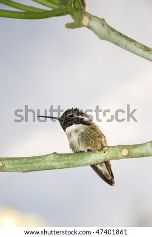 Close up of a Costa's hummingbird on the branch. - stock photo