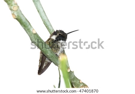 Close up of a Costa's hummingbird on the branch isolated over white. - stock photo