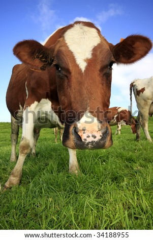 Close up of a cow in a field of grass, seeing from a low angle - stock photo